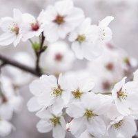 Вишневий цвіт :: Танюша