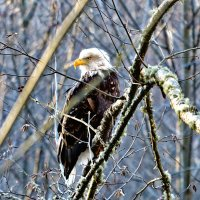 Белоголовый орлан. :: Michael Averkiev