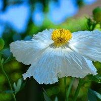 Беленький цветочек :: Николай Танаев