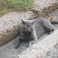 Полтавский кот :: Наталья Ар.