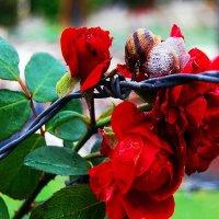"""Розе всё равно где цвесть:  """"За колючкой ...."""" :: Aleks Ben Israel"""