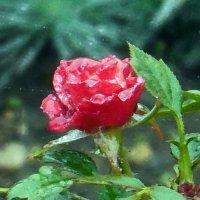 Розы...розы...Дождь :: Вячеслав Медведев