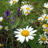 Полевые цветы... :: Елизавета Успенская
