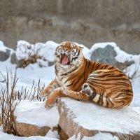 АМурская тигрица :: олег