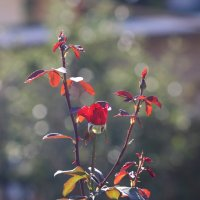 Розы :: Елена