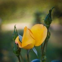 « Роза, розочка, бутончик, Не спеши, Ты расти, расти тихонько, Здесь, в тиши,…» :: Андрей Нибылица