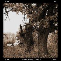 Старые дубы на окраине деревни. :: Юрий ГУКОВЪ
