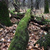 Мшистый лес :: Ekaterina Podolina