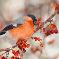 Красногрудая птица :: Анатолий Иргл