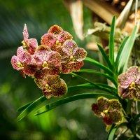 Орхидеи :: Олег Дорошенко