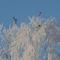 январские сороки :: linnud