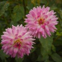 « …Осенние цветы - души очарованье, В них – радость и печаль, и осени дыханье. » :: Андрей Нибылица