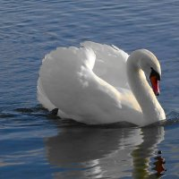 Лебедь на озере :: Маргарита Батырева