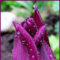 Летний дождь украсил тюльпан... :: Светлана
