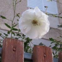 Январь. Белая роза :: Герович Лилия