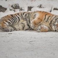 тигрёнок амурский :: cfysx