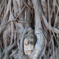 Голова Будды, оплетенная и поднятая корнями дерева бодхи :: Павел Катков