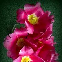 Тюльпаны сверху :: Сергей Карачин
