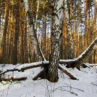 Как леший дрова пилит. :: Сергей Чернышев