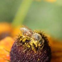 Пчела трудяга-2. :: Руслан Грицунь