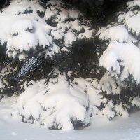 Снежные ели :: Елена Семигина