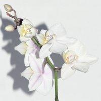 орхидея :: Laryan1