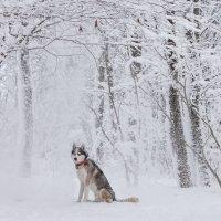 Снежный пёс :: Валерия заноска