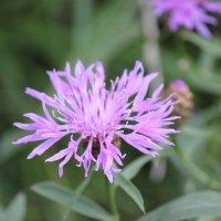 Карпатские цветы-1. :: Руслан Грицунь