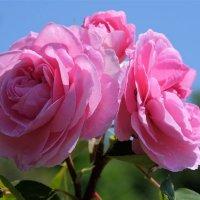 Розовый букет :: Swetlana V