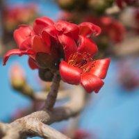 цветок хлопкового дерева :: Александр Григорьев