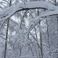 снежный лес :: Александр Матюхин