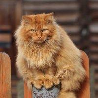 Рыжий кот. :: Галина .
