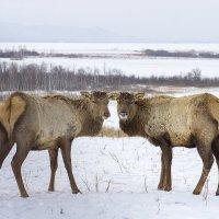 "Парк ""Ледниковый период"", Белокуриха, маралы :: Алина Меркурьева"