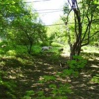 Пасущиеся   овцы   в    Рахове :: Андрей  Васильевич Коляскин
