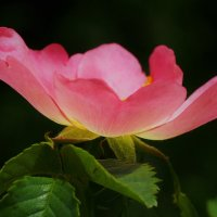 Розовая чаша :: Swetlana V