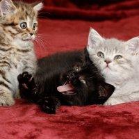 Котята :: Алена Торопов