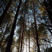 лес :: Светлана Рябова