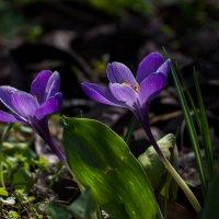 Первоцветы :: Павел Руденко