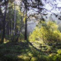 Утро в лесу :: Роман Пацкевич