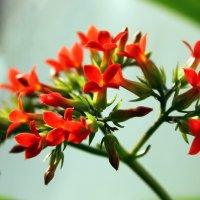 Цветущий каланхоэ на моём окне. :: Валентина ツ ღ✿ღ