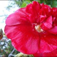 Мальва красная :: Лидия (naum.lidiya)