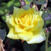 Розы....розы.. :: Вячеслав Медведев