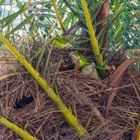 Попугайское гнездо в кроне пальмы :: Владимир Брагилевский