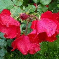 Дождь и розы. :: VasiLina *