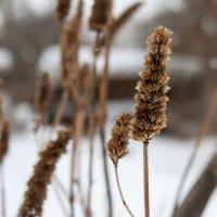 Лофант анисовый зимой :: shabof