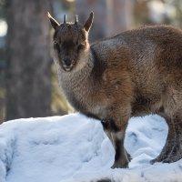 Сибирский горный козел. Точнее козлик)) :: Владимир Шадрин