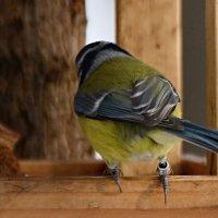 окольцованная лазоревка :: linnud