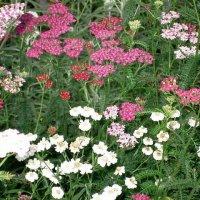 цветы :: людмила голубцова