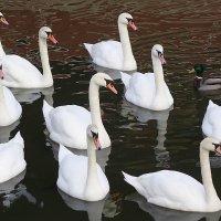 Лебеди, ждущие угощения :: Маргарита Батырева