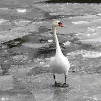Лебедь, оценивающий ситуацию :: Маргарита Батырева